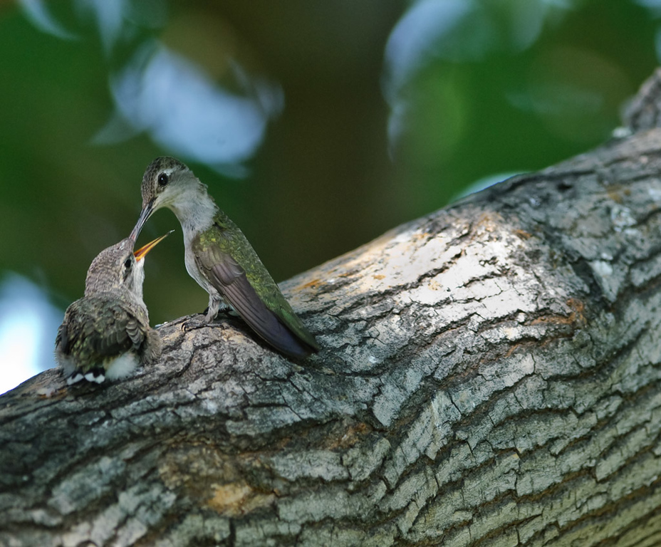 Snack Time<br /> <br /> Just amazes me how these little naked birds grow, leap from the nest, and make it out in the world. The parent is diligently ensuring that they do make it until instinct takes over. Amazing! (Though many don't)