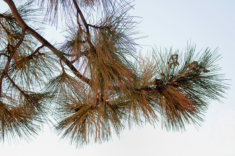 11-4-10<br /> <br /> Ponderosa Pine<br /> <br /> Not your typical autumn shot but just the same, everything turns, in one way or another. All of the yellow/orange needles drop just like leaves.
