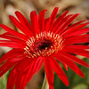"October 18, 2009 - Red Daisy<br /> <br /> Here is another version:<br />  <a href=""http://wendywilkersonphotography.smugmug.com/Photography/Flowers-Foliage/7932893_xAnQQ#685218248_u6UtX"">http://wendywilkersonphotography.smugmug.com/Photography/Flowers-Foliage/7932893_xAnQQ#685218248_u6UtX</a><br /> <br /> Here is a glowing art version:<br />  <a href=""http://wendywilkersonphotography.smugmug.com/Photography/Glowing-Art/9650480_fezFm#685228385_nRCBn"">http://wendywilkersonphotography.smugmug.com/Photography/Glowing-Art/9650480_fezFm#685228385_nRCBn</a><br /> <br /> Thanks to all who commented on yesterday's Pumpkin Glow photo.<br />  I have really enjoyed being a part of the dailys.   The feedbacks, comments,  and great work out there inspire me to keep going on mine."