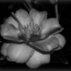 November 23, 2009 - Autumn Flower (b&w) - Last week was a crazy week, was not able to take my daily shots, trying to get back in the groove.