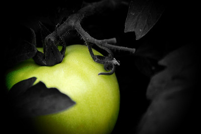 May 13, 2010 - Growth of a Tomato