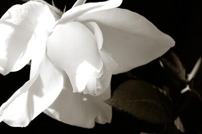 April 15, 2010 - Chocolate Kissed White Rose