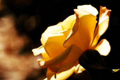 April 15, 2010 - Sunlite Yellow Rose