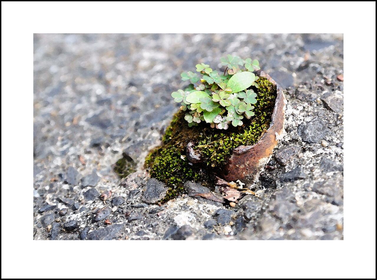 Day 228  Monday, August 16<br /> The mercury reached 38 degrees Celcius today, so it was almost too hot for walking, but Baba and I went out for a short trip to the 100 yen store.  The hot weather and high humidity makes every little weed grow.  I found this sorrel and moss growing in an old broken off pipe in a parking lot.