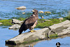 2010 08-05 We went for a walking tour in the area we'd spent so much time looking for eagles and bears.  Young bald eagles seemed to be much more common than their fully bald counterparts.  This guy was posing on a log just off the boardwalk for us tourists.  Shot with my D300.  It is much sharper for these center crops than my D700.  I absolutely love the way this one came out.