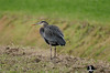 2012 01-04 Great Blue Heron in the Skagit.