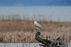 2012 01-02 More Snowy owl from afar.