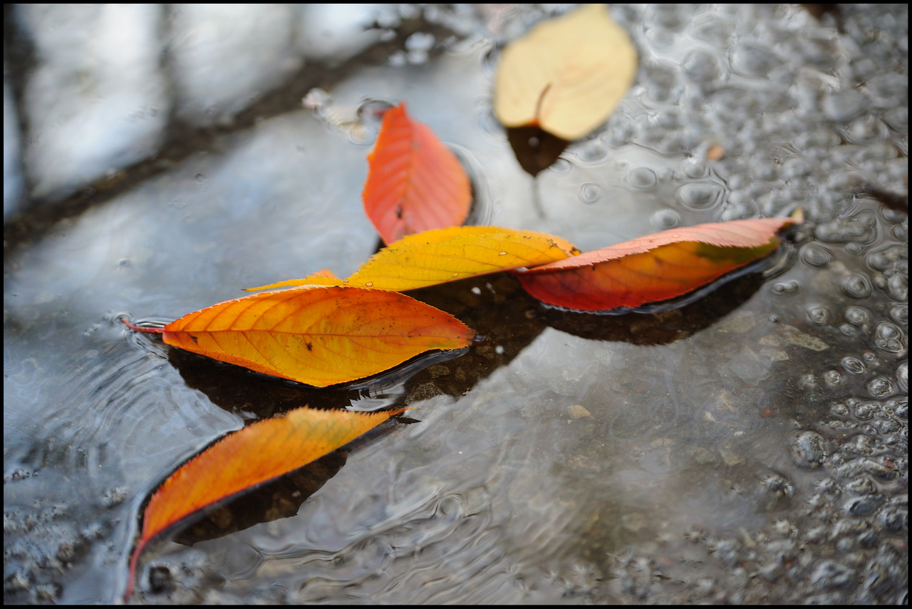 Day 322 Thursday, November 18<br /> It was raining off and on today.  I couldn't help but notice these cherry leaves in a puddle on my way to Sangenjaya.