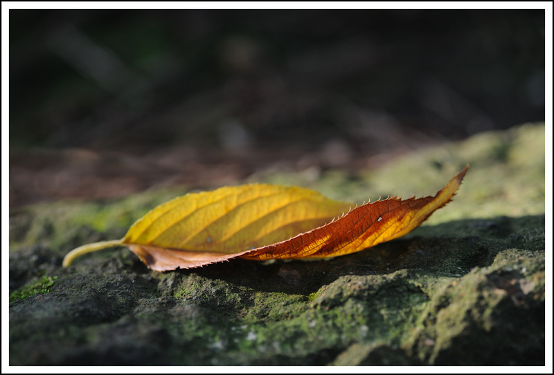 Day 288 Friday, October 15<br /> We are still a long way from pretty fall colors here, but we do see a fallen leaf or two now and then. Bring it on, autumn! I am ready!
