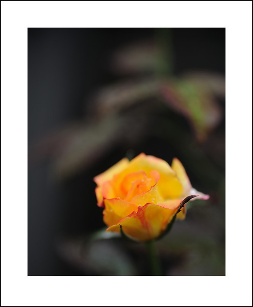 Day 294 Thursday October 21<br /> It rained all day, so I walked to the grocery store. On the way home I spotted this rose, so returned later with my camera and umbrella.