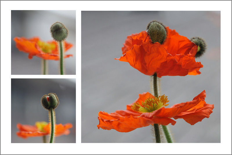 365/92 April 2. This is the day Kento arrives from Pittsburgh. I think I will be too occupied to take pictures this evening. So for now, the poppy on my window sill is my model. I love watching these unfurl.
