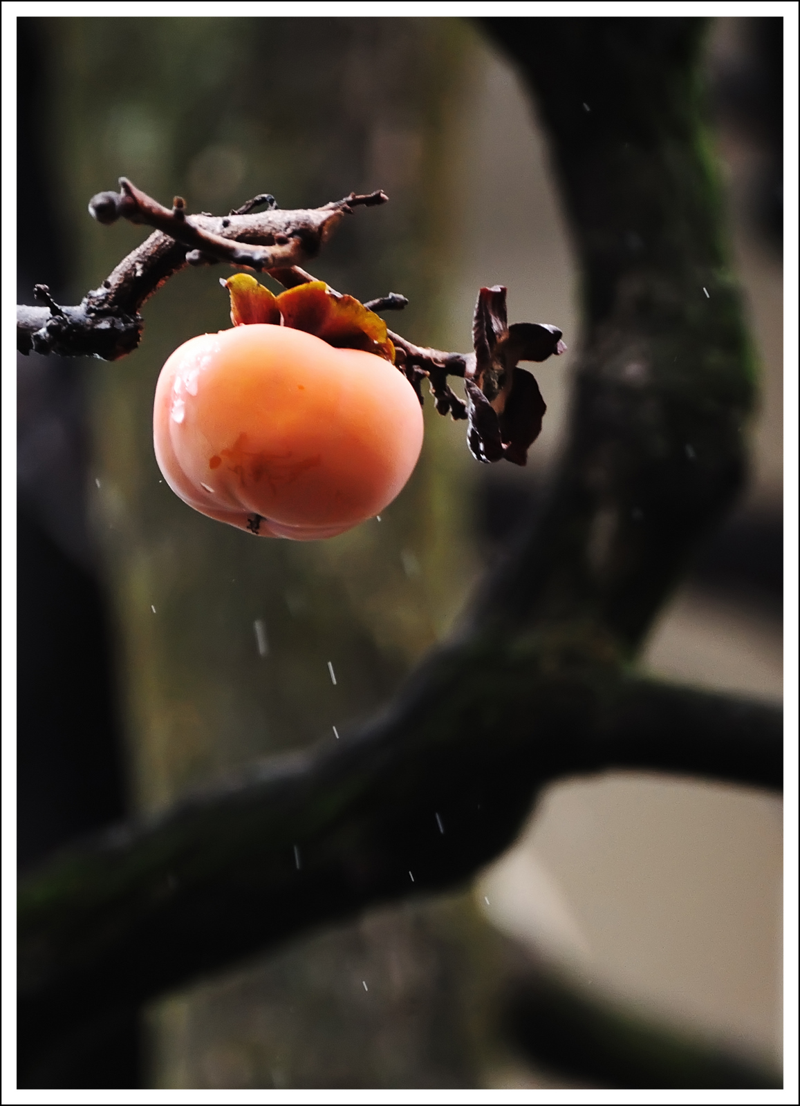 Day 347  Monday December 13<br /> It was a cold, rainy day today, so I didn't wander far with my camera.  Our neighbor has a persimmon tree.  She has picked the persimmons, but has left four or five for the birds.