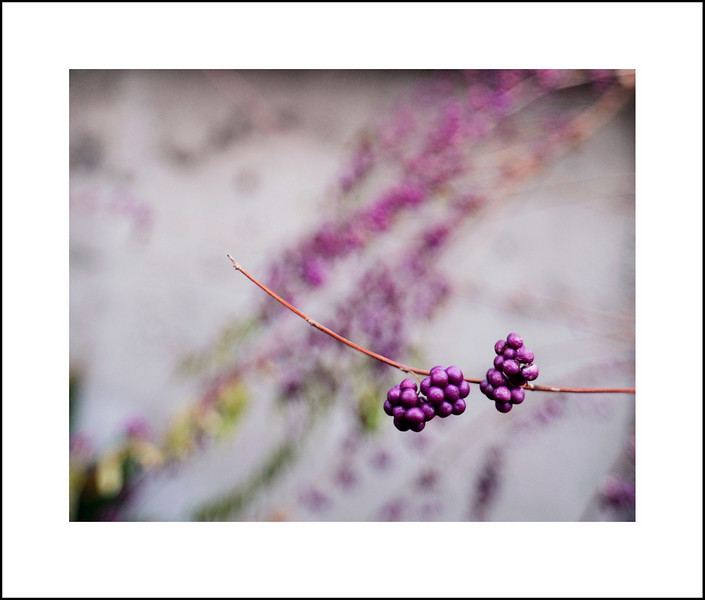 Day 351 Friday, December 17<br /> I had some errands in Sangenjaya so decided to take my camera with just my 20mm to see what I could come up with. I noticed these pretty purple berries along the way.