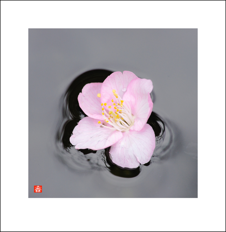 February 17.  Out for a walk with Baba and passed through Ryuunji Temple.  I noticed this Kawazu cherry blossom floating in a stone water basin.