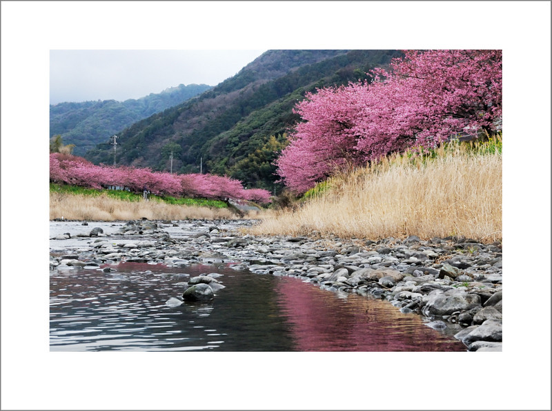 February 13.  The next morning, enough snow had melted to make the roads clear, so we headed to Izu to see the Kawazu-zakura, a type of cherry blossom that blooms in February.