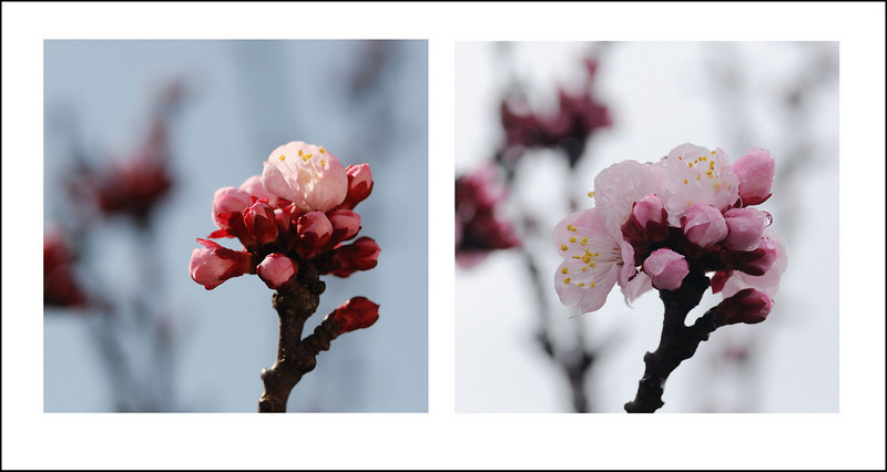 365/66  Sunday afternoon.  The rain followed us home.  On Friday the warm sunshine coaxed one blossom open on our apricot tree.  By Sunday only this one cluster was open.  The rain keeps the tree from pollinating, so it is better to wait for the sun.  Smart tree.