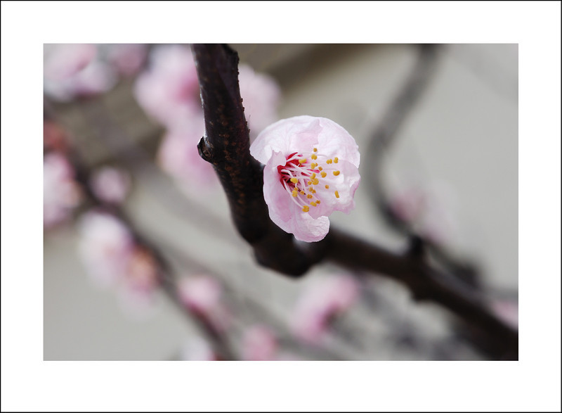 365/74  Our apricot tree is in full bloom.  This only happens once a year, so naturally I had to document it. In the evening we had a strong rain, so many of the blossoms were damaged.  I am glad I took this when I did.