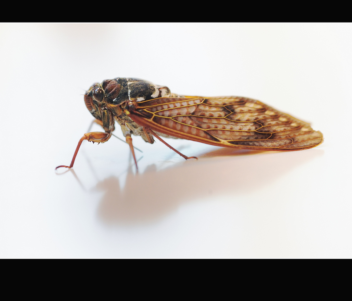 Day 250  Tuesday, September 7<br /> They say that summer is almost over when the cicada begin to die.  I certainly hope so. This year it has been a long one. Seishi found this fellow that was getting very lethargic.