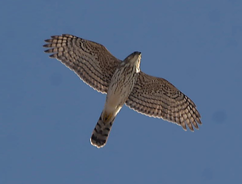 . PETE BANNAN -DIGITAL FIRST MEDIA       A fed tailed hawk soars of the Schuylkill RIver between Spring City and Royersford.