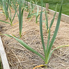 PETE BANNAN-DIGITAL FIRST MEDIA   La Comunidad has started a community garden.