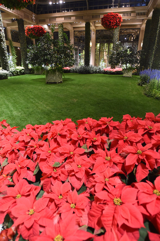 . PETE  BANNAN-DIGITAL FIRST MEDIA     It wouldn\'t be Christmas without poinsettias in the Conservatory at Longwood Gardens.
