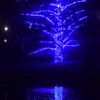 PETE  BANNAN-DIGITAL FIRST MEDIA    <br /> A blue lighted tree at Longwood Gardens.