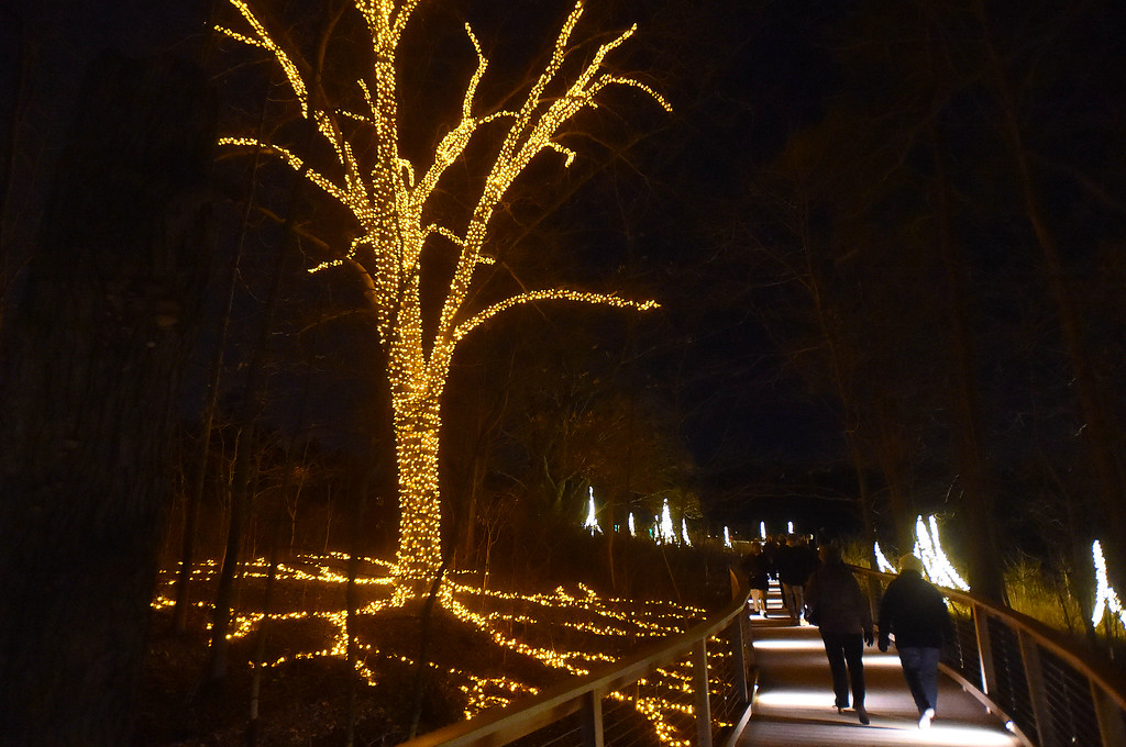 . PETE  BANNAN-DIGITAL FIRST MEDIA     A tree and its root pattern are illuminated  along the Meadow Board Walk at Longwood Gardens.