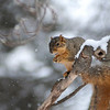 December 15, 2013:  One of the mother fox squirrels enjoys a snack in the blowing snow.