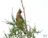 June 30, 2014:  There was a small flock of cedar waxwings at the nature preserve this morning, but the light was wicked.
