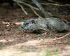 June 30, 2014:  Our first spotting of groundhog #2.