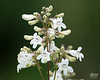 June 22, 2014:  A prairie or meadow flower; not sure what kind.
