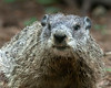 June 30, 2014:  The second of two groundhogs that are hanging out in the yard!