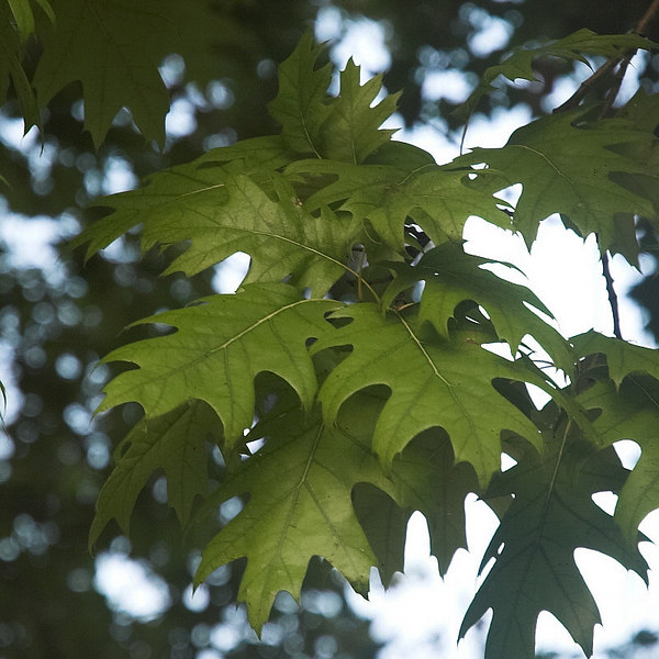 August 25th:  A splendid clump of oak leaves on a tree in a park.