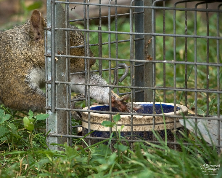 """August 4, 2008:  """"Mine...mine...MINE!""""  We set up the live trap to try and corral an injured squirrel this morning, and this young grey squirrel figured out pretty quickly that it wasn't hard to reach inside to snag some treats."""