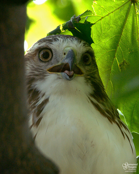 August 22, 2008:  Hot, hot, hot day and the deep shade of the big maple didn't seem to provide much relief to the juvie red tail hawk.