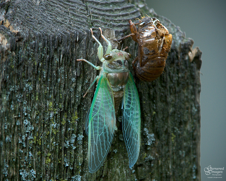 """August 5, 2008:  As the evening began to fall, we watched this cicada shedding its exoskeleton.  The whole series can be seen here:  <a href=""""http://SciurusNiger.smugmug.com/gallery/5631985_SwN8V/1/346110594_nJfoA"""">http://SciurusNiger.smugmug.com/gallery/5631985_SwN8V/1/346110594_nJfoA</a>"""