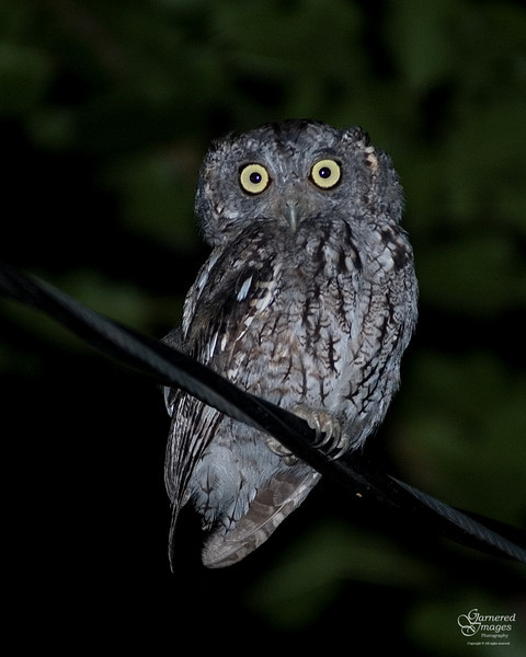 August 7, 2009:  We hear them most every night, but this night we got lucky and this little screech owl stayed in plain sight and stayed put long enough to get a photo.