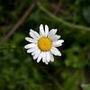June 18, 2017:  Wild little daisy.  With bug, too.