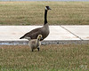 June 23, 2017:  Young Canada gosling with parent.