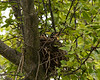 June 17, 2017:  Another nest of robins getting ready to fledge!