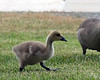 June 23, 2017:  The goslings on the grounds where I work are growing up SO fast!  They were half this size last week.
