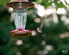 June 21, 2017:  The hummers are at the feeder now all day long.