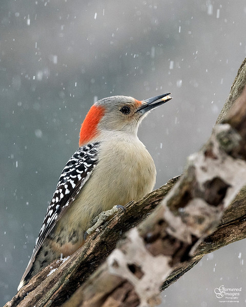 January 15, 2017:  Red-bellied woodpecker with a tasty tidbit.