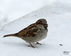January 15, 2017:  Male European house sparrow.