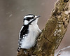 January 15, 2017:  Little downy woodpecker