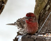 January 15, 2017:  Male house finch