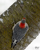 January 15, 2017:  A common view of the red-bellied woodpecker.