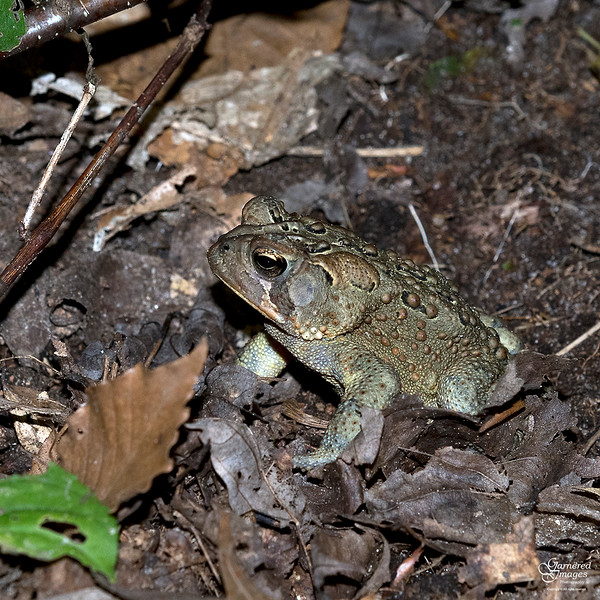 September 22, 2018:  A froggy little friend in the woods this afternoon.
