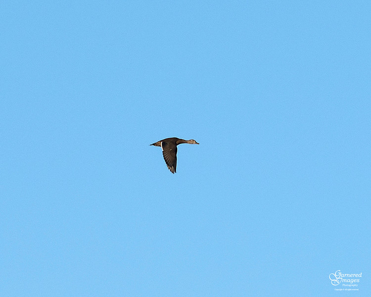 September 11, 2018:  Female wood duck flying overhead at one of the local marshes.