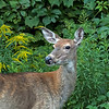 August 28, 2018:  It was a deer evening today.